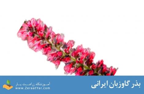 بذر گاوزبان ایرانی