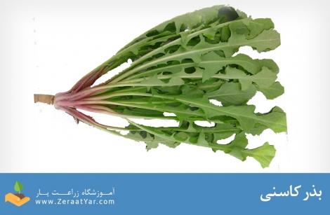 بذر کاسنی