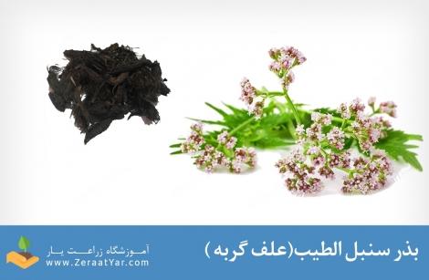 بذر سنبل الطیب