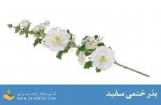 بذر ختمی سفید