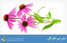 بذر سرخارگل